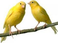 Gobaith Canary