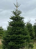 Buy a Christmas tree and help your club!
