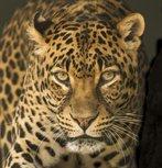 U10 Leopards