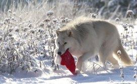 Santa-wolf launches new 'stash' range
