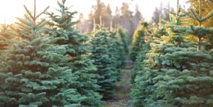 Buy a Tree! Support Your Club!