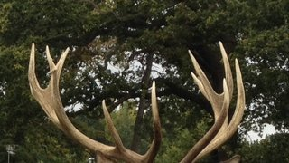 The Fat Stags rumble on