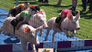 Pig Racing at Larne RFC