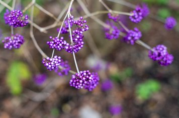 Callicarpa thrives in the churchyard