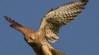 Kestrels Get Their Wings Clipped But Show Some Positives